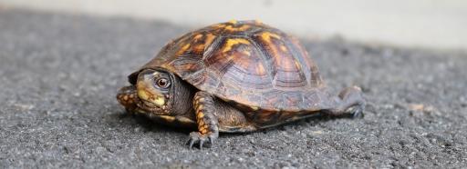 small-tortoise
